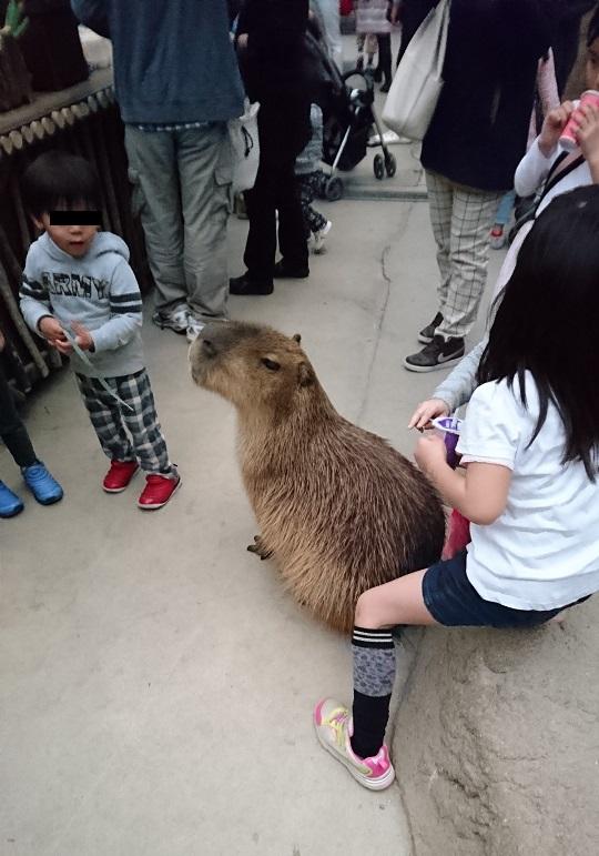 神戸どうぶつ王国でカピバラさんと子供が触れ合う